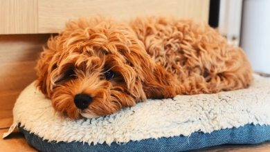 12 things to know before getting Cavapoo